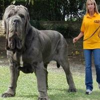 Dogs that look like great danes